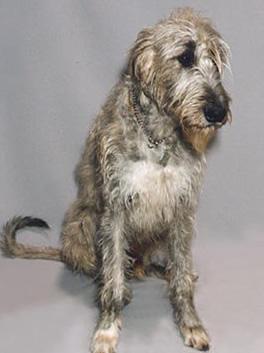 「イヌ」:「アイリッシュ・ウルフハウンド」のペットずかんだよ!とくちょうを写真つきでしょうかいするよ!