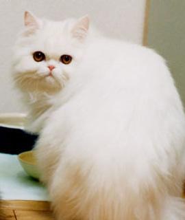 ペルシャ ペルシャ:ネコずかん:ペットずかん:キッズ@nifty 「ネコ」:「ペルシャ」のペット
